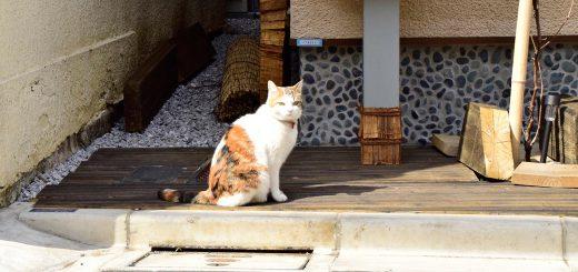 yanesen,cat,volunteerguide