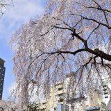 nippori,sakura-spot