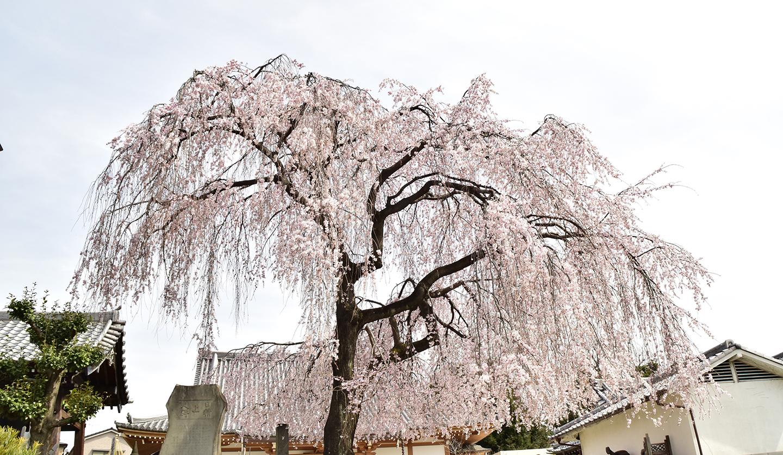 sakura-spot-tyomyouji