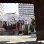 sakura-spot-zensyoji