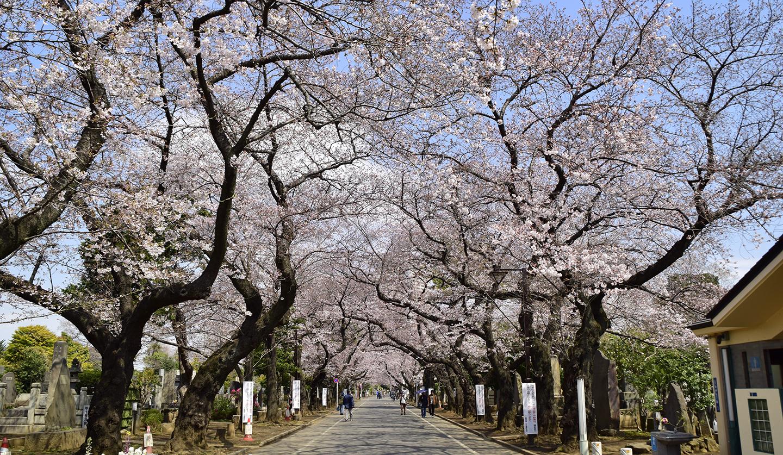 sakura-spot-yanakareien