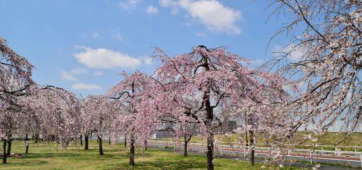 ogunohara park-sakura